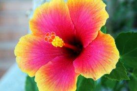 1hibiscusflower