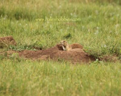 22-prairie dog
