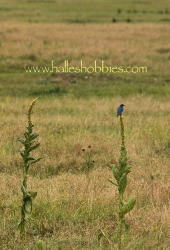 23-mountain bluebird