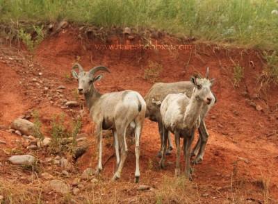 24-big horn sheep